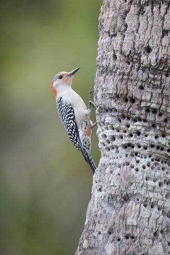 melanerpescarolinus redbelliedwoodpecker