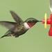Ruby-throated Hummingbird (Archilochus colubris) by Steve Byland