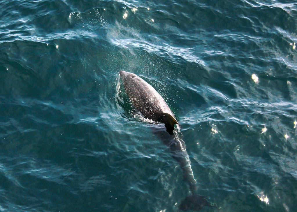 paihia-dolphin-jumping