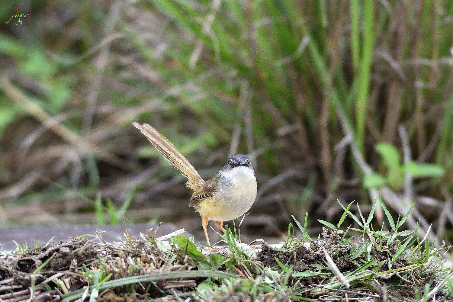 Yellow-bellied_Prinia_3256