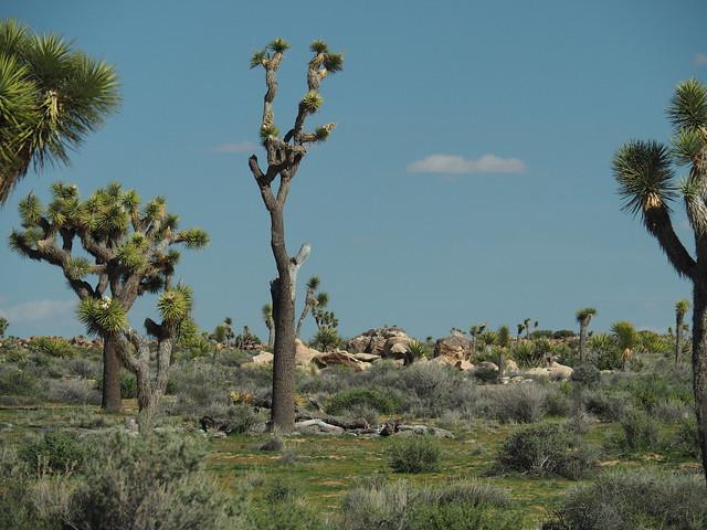 Q3256847 Joshua Tree National Park
