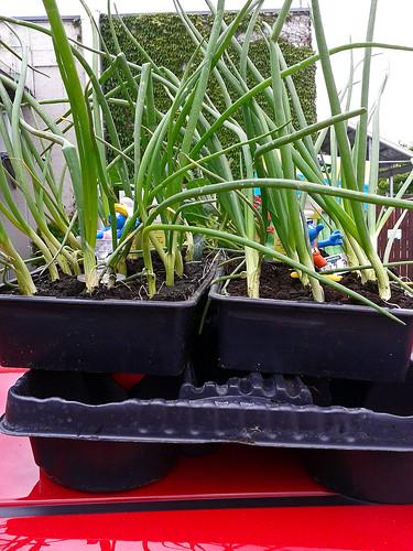 Zwiebeln vom Gartencenter by lebenswandeln