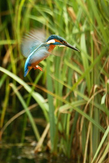 DSC09986 - Kingfisher