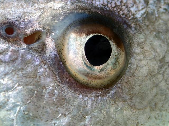 Sheephead eye
