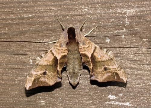 Eyed Hawk-moth - Smerinthus ocellata