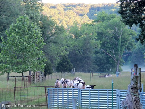 (30-14) Heading into the barn the night before sheep working Monday - FarmgirlFare.com