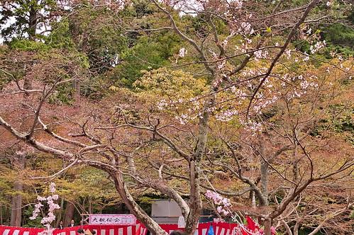 【写真】2013 桜 : 大原野神社/2021-01-15/IMGP0052