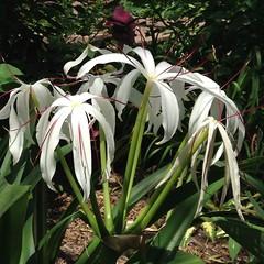 lily(0.0), grass(0.0), shrub(1.0), erythronium(1.0), hymenocallis(1.0), flower(1.0), leaf(1.0), hymenocallis littoralis(1.0), plant(1.0), flora(1.0),
