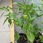 Tomatillo 24 July 2013