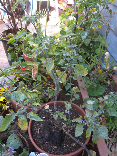 tomatillo planting in Back patio by lizzard