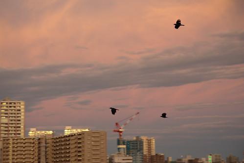 Crow go home -After Typhoon at Saitama