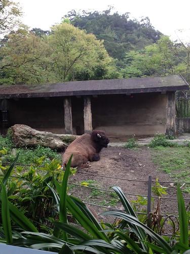 5溫帶動物區 _美洲野牛
