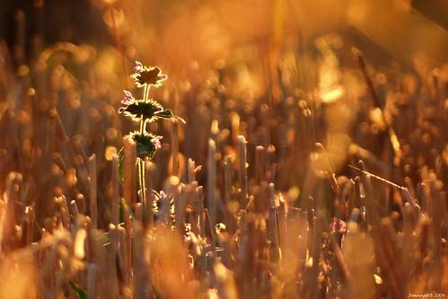 flowers sunset summer sun nature yellow colours poland polska sunny natura kwiaty słońce przyroda kolory lato żółty jaroszki polik parkkrajobrazowywzniesieńłódzkich lodzhillslandscapepark
