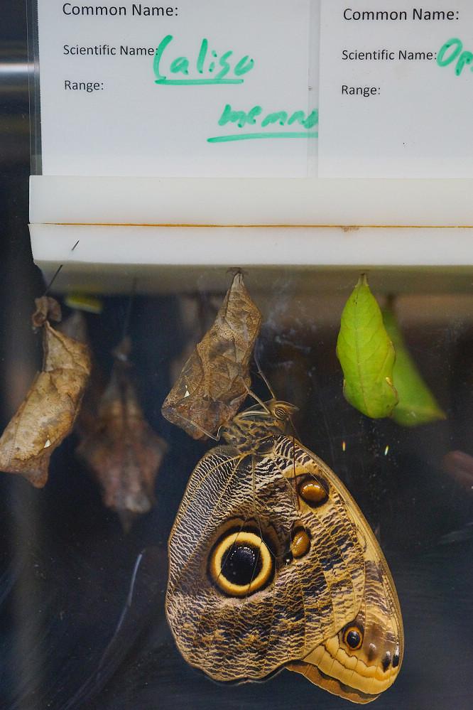 美洲蛺蝶 Caligo eurilochus-1