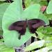 Small photo of Spangle, Papilio Protenor demetrius