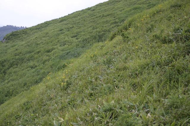 オミナエシのお花畑.
