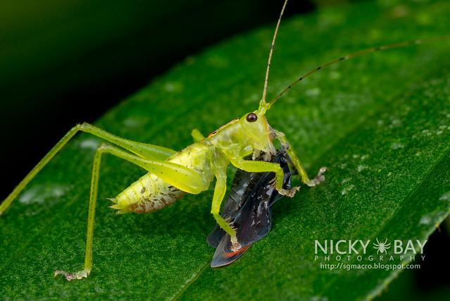 Predatory Katydid (Hexacentrus unicolor) - DSC_8901