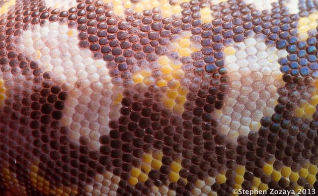 Ocellated Velvet Gecko (Oedura monilis)