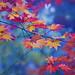 紅葉 by ajpscs