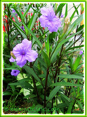 Ruellia simplex 'Purple Showers' (Britton's Wild Petunia, Mexican Petunia/Bluebell) in the neighbourhood, 21 Dec 2011