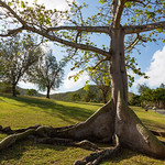Tree on St. John