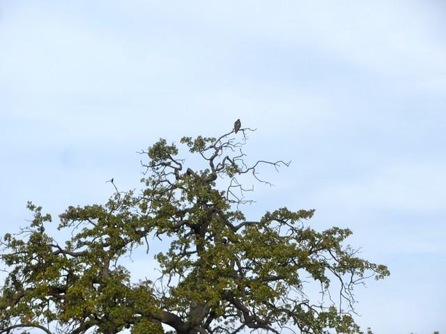 hawk and oak