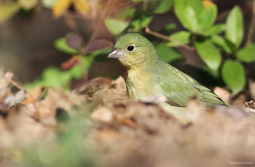 louisiana songbird bunting paintedbunting passerinaciris