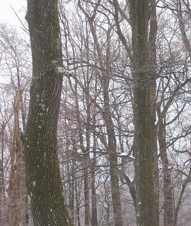 icy trees 1