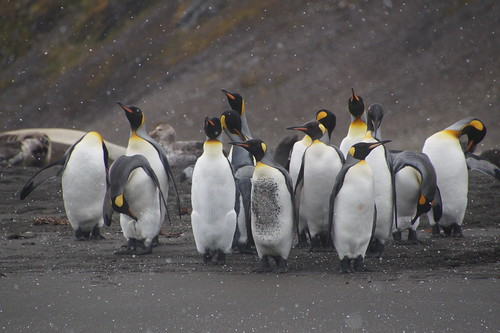 075 Koningspinguins