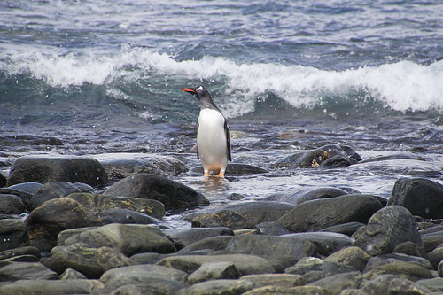 178 Elephant Island - Point Lookout Ezelspinguins