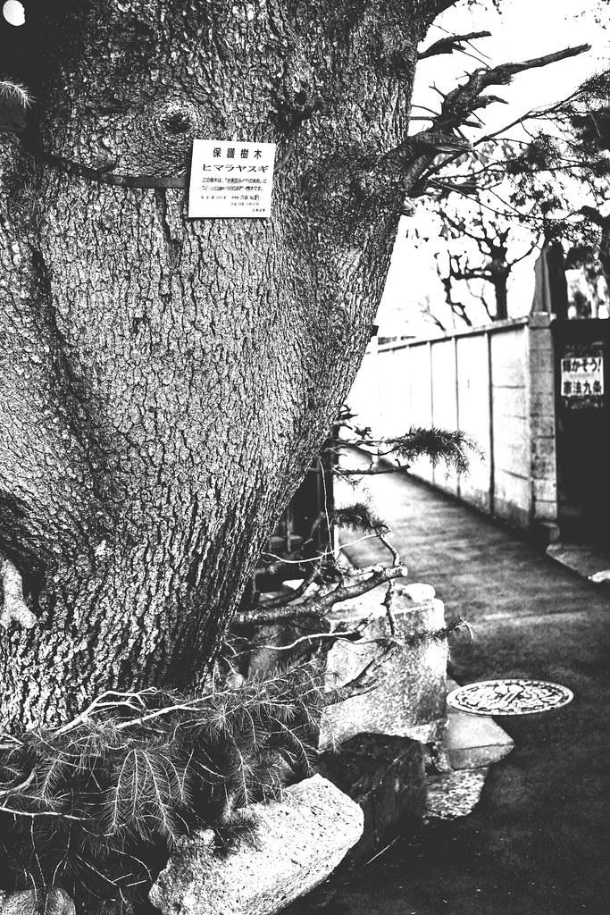 谷中ヒマラヤ杉3