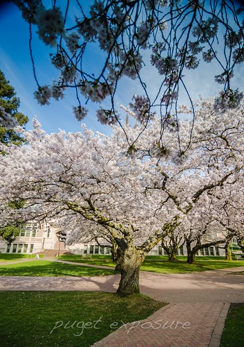 Univerity of Washington Cherry Blossoms 2014