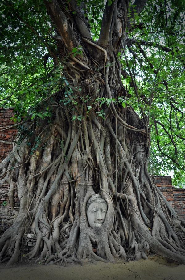 Buddha Statue Tree Wat Mahatat