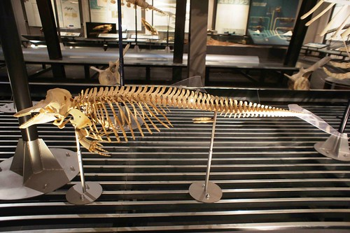 港灣鼠海豚(Phocoena phocoena)骨骼標本,作者攝於日本北海道足寄動物化石博物館。