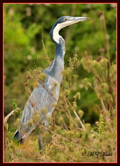 BLACK-HEADED HERON (Ardea melanocephala)......NAIROBI NAT.PARK......OCT 2013