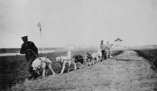 Dogs ploughing a potato field, Hay River mission, Northwest Territories / Des chiens labourant un champ de pommes de terre, Hay River (Territoires du Nord-Ouest)
