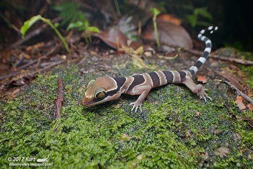 Cyrtodactylus bintangtinggi_MG_7273 copy