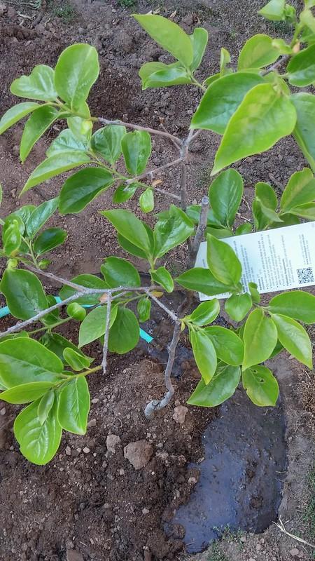 Nyplanterat Persimonttäd i trädgården.