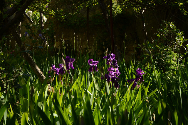 Iris x germanica 'Crimson King' - Barr and Sons 1893 33644783180_e011034420_z