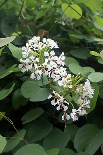 Bauhinia glauca subsp. caterviflora = B. caterviflora (Fabaceae)