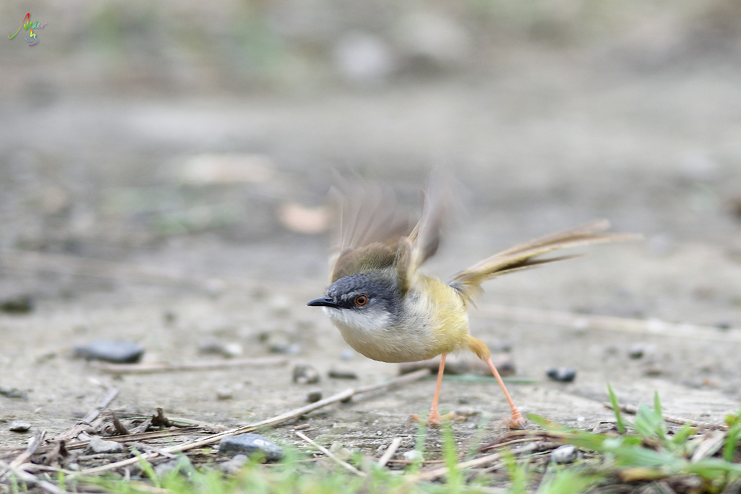 Yellow-bellied_Prinia_3485