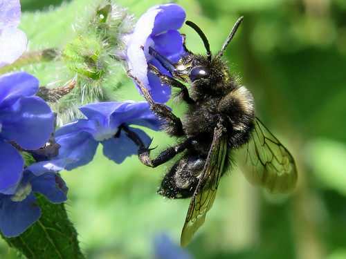 Common Mourning Bee - Melecta albifrons