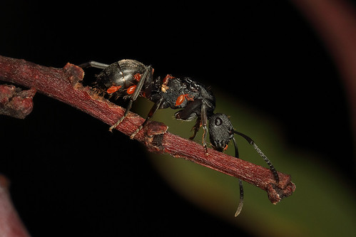 Ant (Polyrhachis sp) with mite infestation