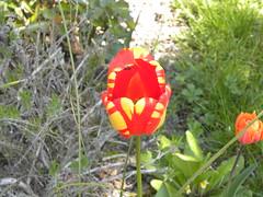 tulipe - Photo of Rocourt