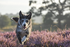 Dog Heather Run
