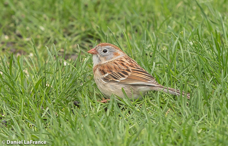 Field Sparrow  (DOL-A-5916)