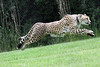 Cincinnati Zoo ... Cheetah run ...