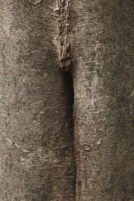 ケヤキ樹洞