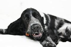 dog breed, animal, dog, pet, mammal, field spaniel, russian spaniel, english cocker spaniel, blue picardy spaniel, spaniel, english springer spaniel, flat-coated retriever,
