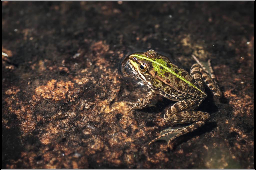 rana común (Pelophylax perezi) - La Alberguería de Argañán (Salamanca)
